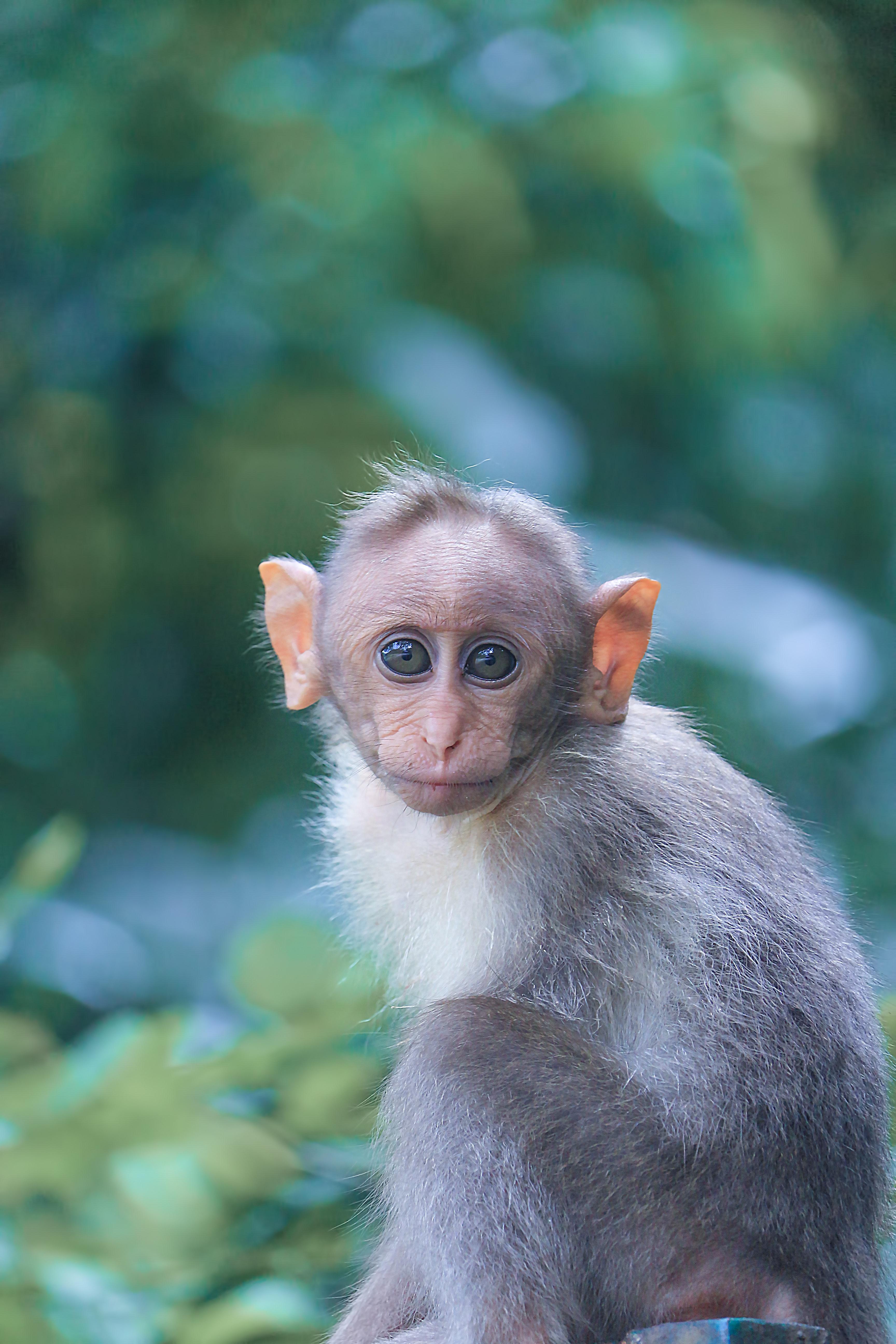 Shkenca encën përpara, krijohet hibridi I parë majmun-njeri