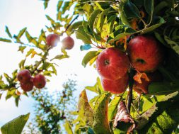 apple-apple-tree-apples-574919