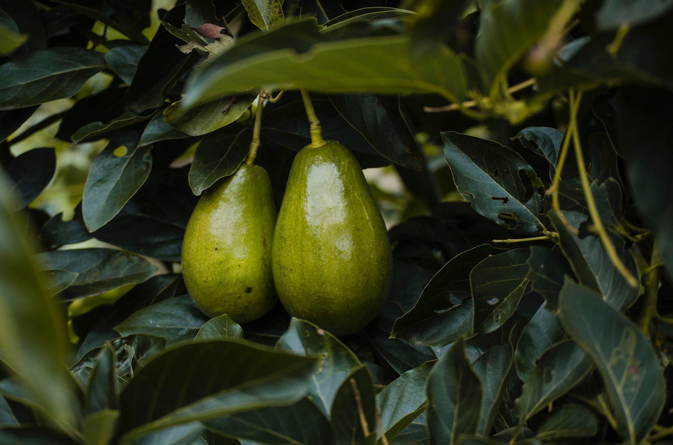Ja përse avokado duhet të jetë pjesë e dietës tuaj, njihuni me benefitet e frutit magjik