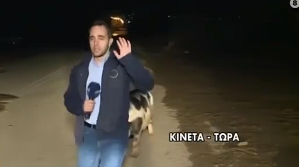 Sulmohet nga një derr gjatë raportimit, gazetari ja fut vrapit duke folur, do të qeshni me lotë